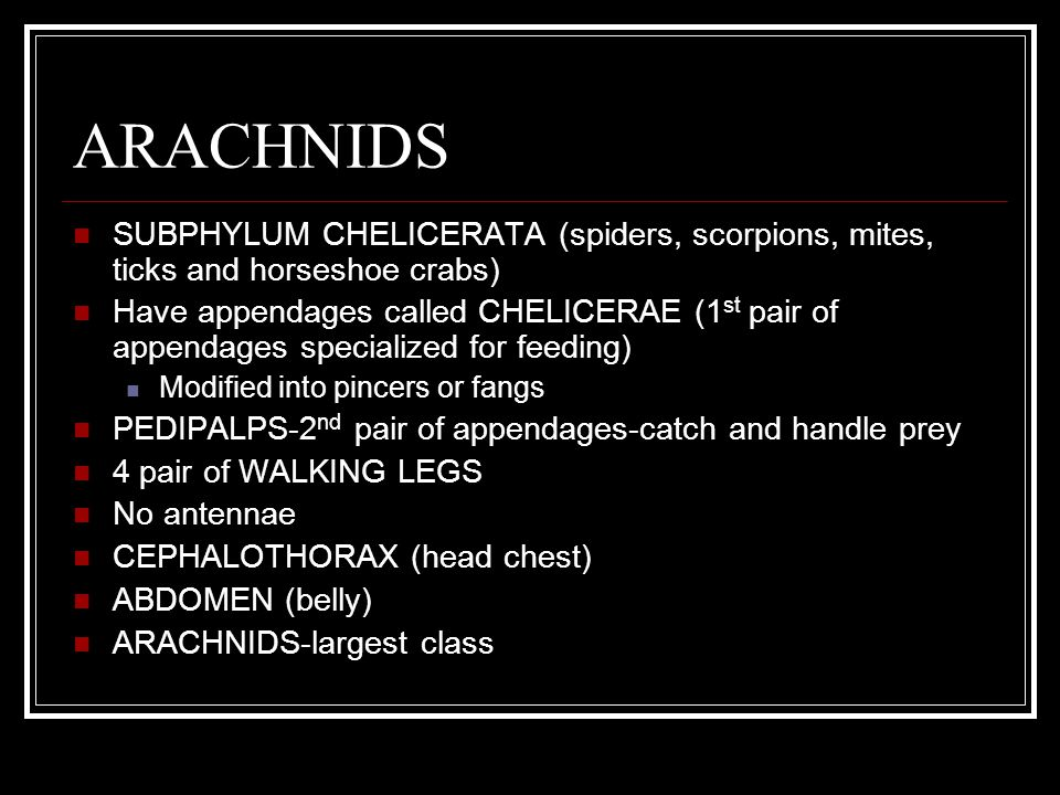 ARACHNIDS SUBPHYLUM CHELICERATA (spiders, scorpions, mites, ticks and horseshoe crabs) Have appendages called CHELICERAE (1 st pair of appendages specialized for feeding) Modified into pincers or fangs PEDIPALPS-2 nd pair of appendages-catch and handle prey 4 pair of WALKING LEGS No antennae CEPHALOTHORAX (head chest) ABDOMEN (belly) ARACHNIDS-largest class