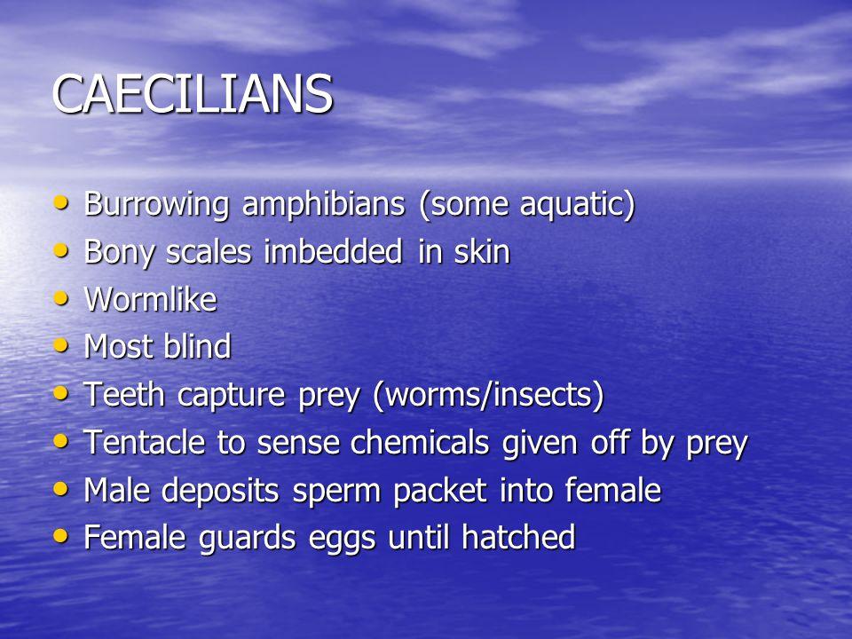 CAECILIANS Burrowing amphibians (some aquatic) Burrowing amphibians (some aquatic) Bony scales imbedded in skin Bony scales imbedded in skin Wormlike