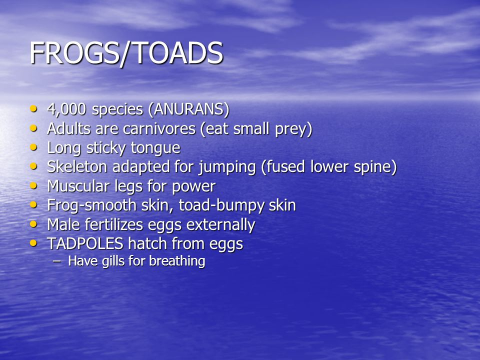FROGS/TOADS 4,000 species (ANURANS) 4,000 species (ANURANS) Adults are carnivores (eat small prey) Adults are carnivores (eat small prey) Long sticky