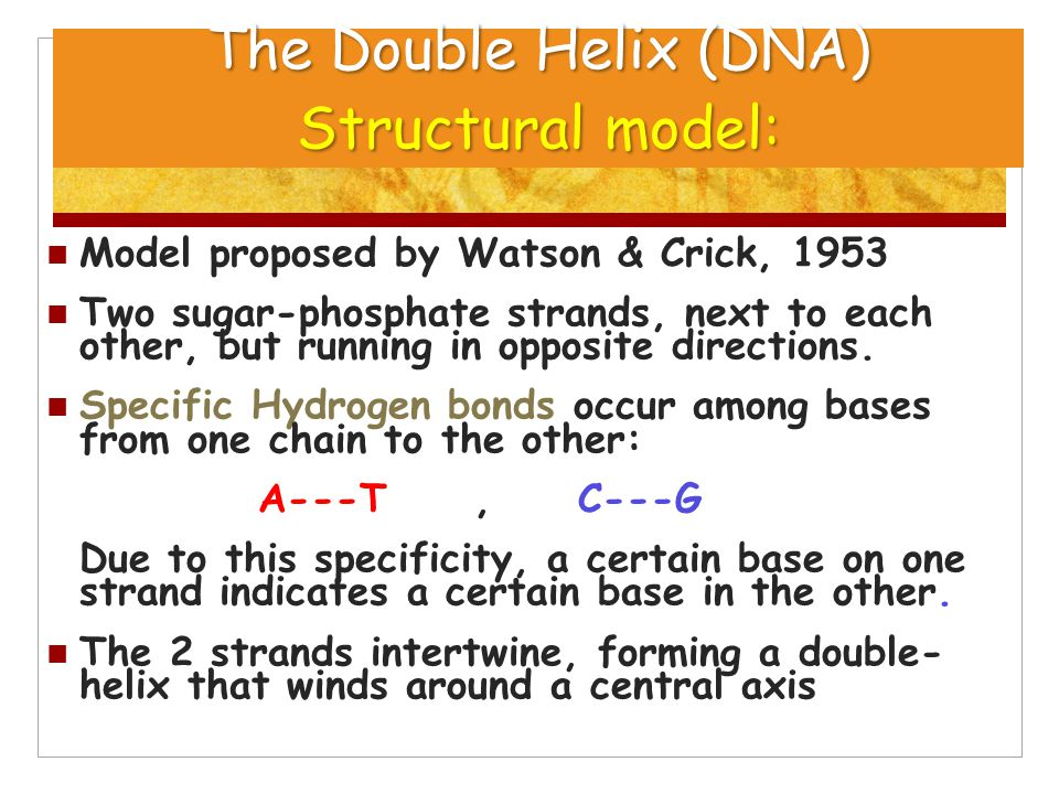 The Double Helix (DNA) Structural model: Model proposed by Watson & Crick, 1953 Two sugar-phosphate strands, next to each other, but running in opposi