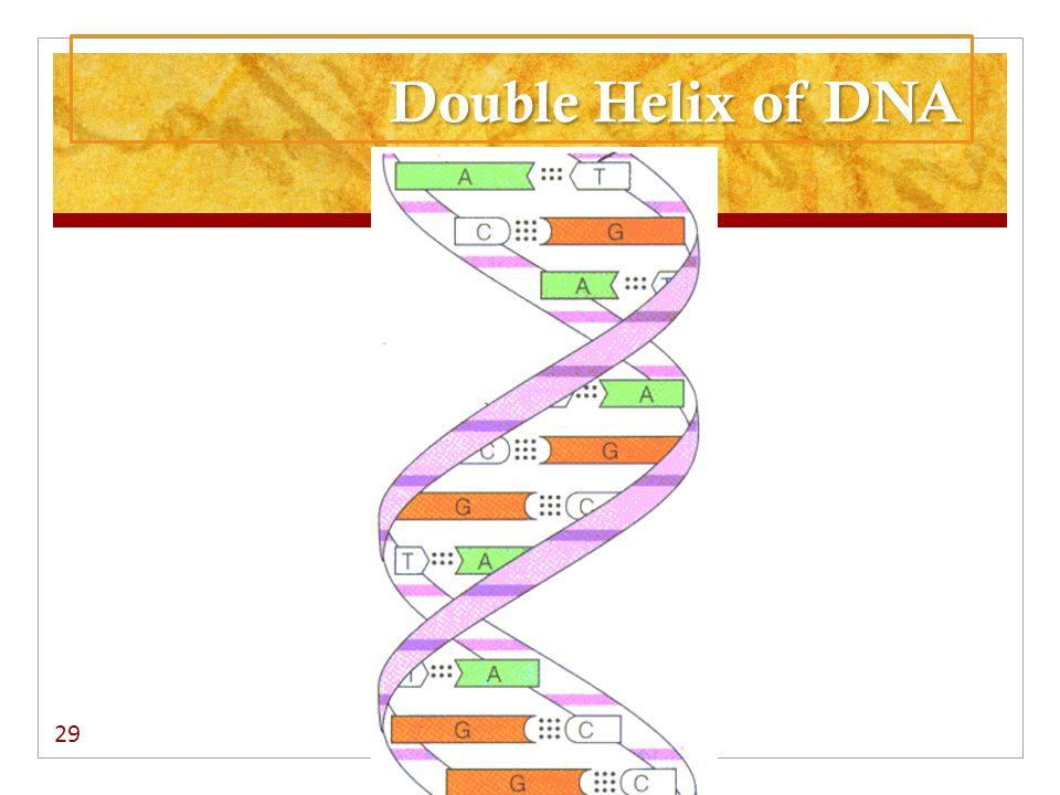29 Double Helix of DNA