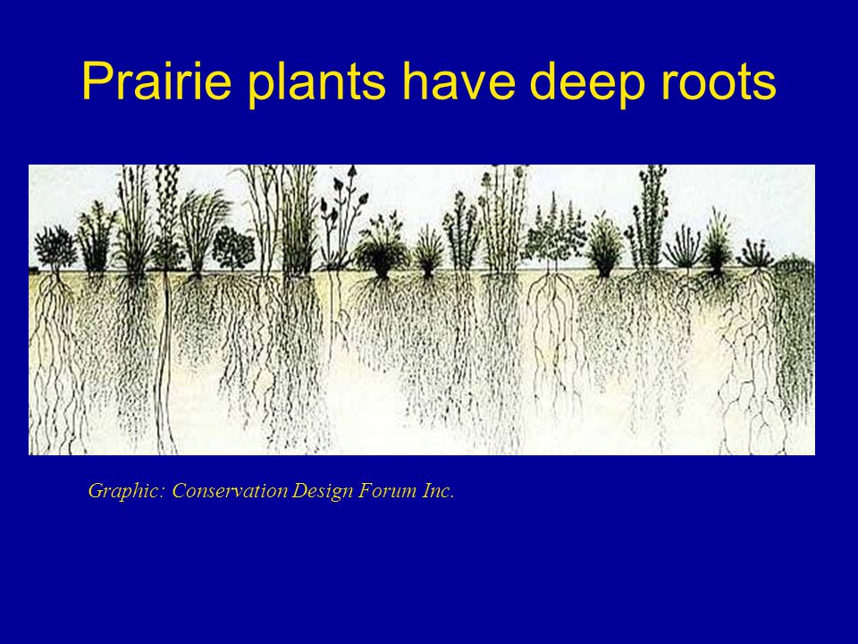 Prairie plants have deep roots Graphic: Conservation Design Forum Inc.