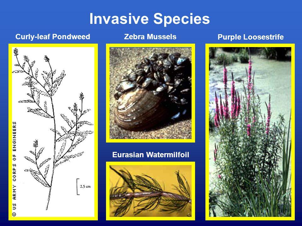 Invasive Species Curly-leaf Pondweed Purple Loosestrife Zebra Mussels Eurasian Watermilfoil