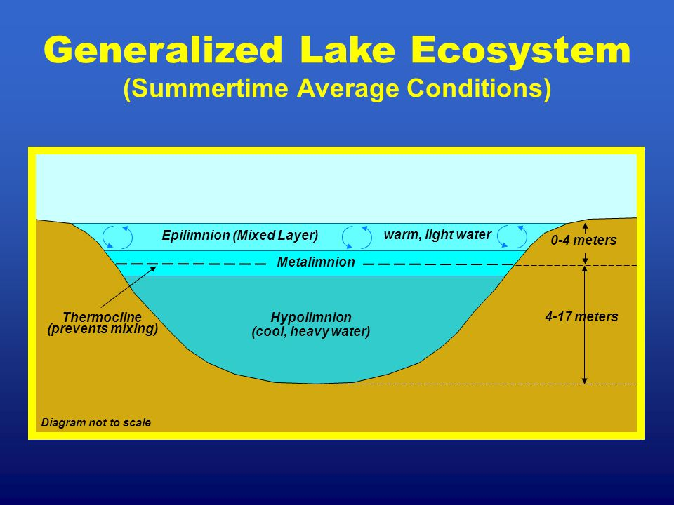 Generalized Lake Ecosystem (Summertime Average Conditions) Diagram not to scale Epilimnion (Mixed Layer) warm, light water Hypolimnion (cool, heavy wa