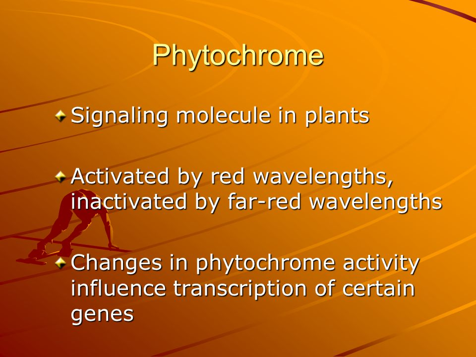 Phytochrome Signaling molecule in plants Activated by red wavelengths, inactivated by far-red wavelengths Changes in phytochrome activity influence tr