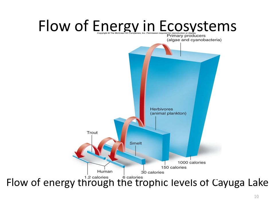 10 Flow of energy through the trophic levels of Cayuga Lake Flow of Energy in Ecosystems