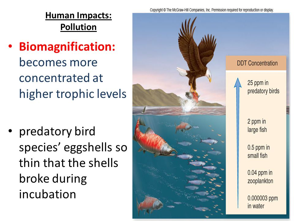 11 Biomagnification: becomes more concentrated at higher trophic levels predatory bird species' eggshells so thin that the shells broke during incubation Human Impacts: Pollution