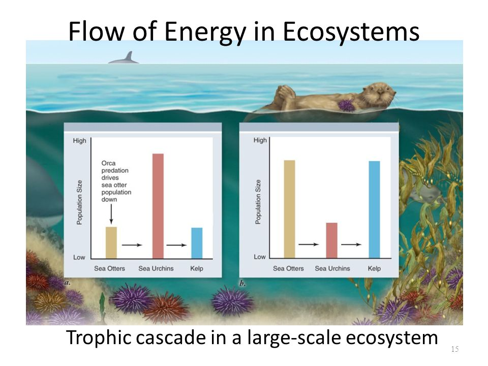 15 Trophic cascade in a large-scale ecosystem Flow of Energy in Ecosystems