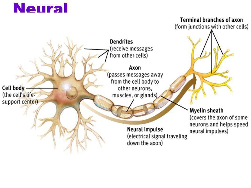 Neural communication zHow does a neuron fire a message?