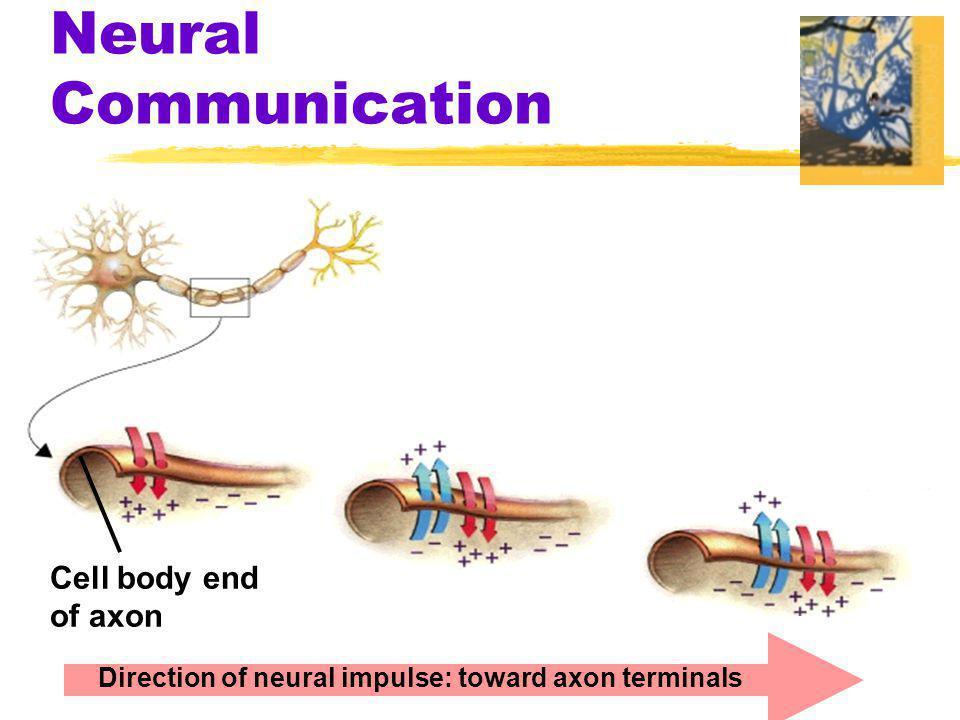 Neural communication zWhere does a neural impulse begin.