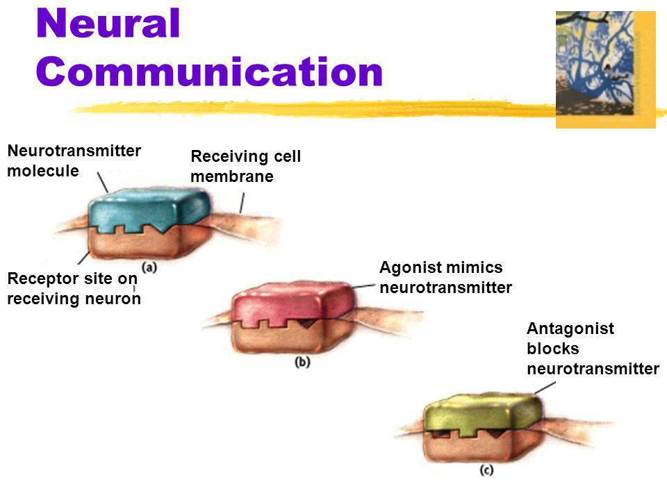 Reuptake zReuptake - neurotransmitters that don't get absorbed by the receiving neuron go back to the sending neuron