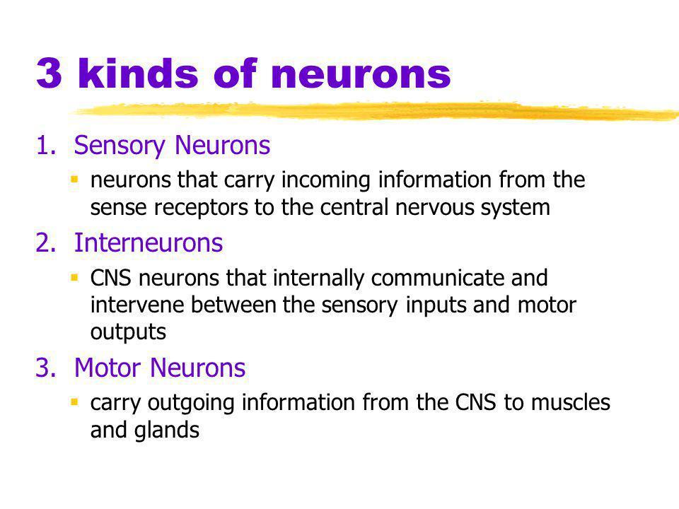 The Nervous System Nervous System  the body's speedy, electrochemical communication system