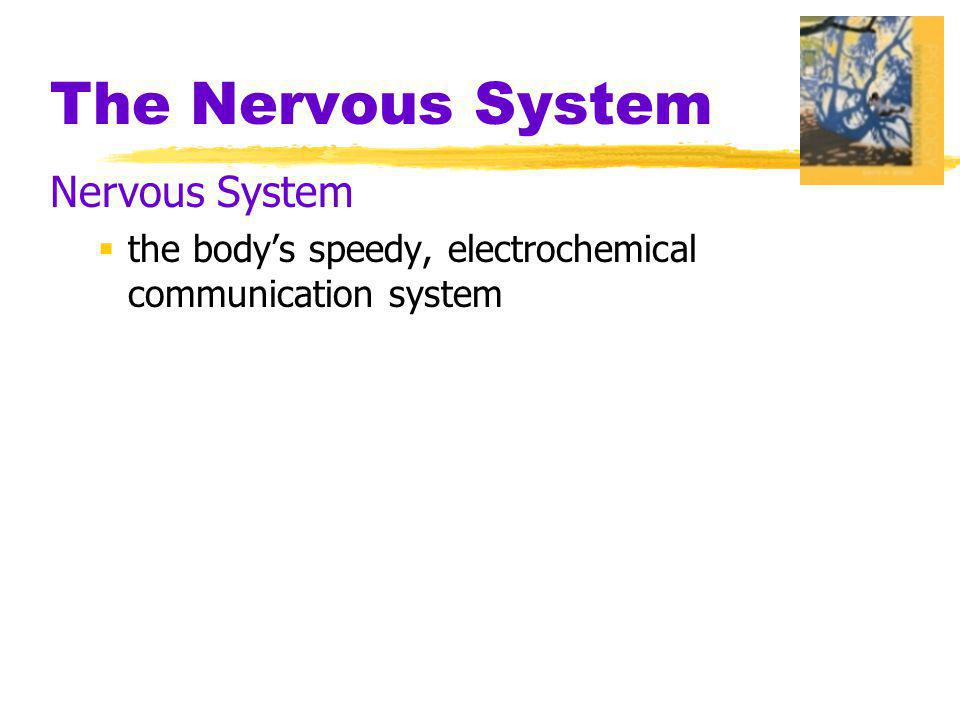 The Nervous System Nerves  neural cables containing many axons  part of the peripheral nervous system  connect the central nervous system with muscles, glands, and sense organs