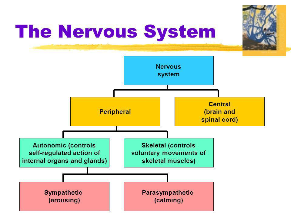 2 parts of nervous system Central Nervous System (CNS)  the brain and spinal cord Peripheral Nervous System (PNS)  the sensory and motor neurons that connect the central nervous system (CNS) to the rest of the body