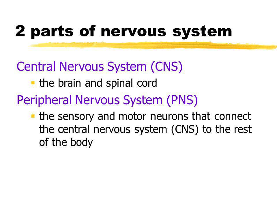 PNS Skeletal or Somatic Nervous System  the division of the peripheral nervous system that controls the body's skeletal muscles