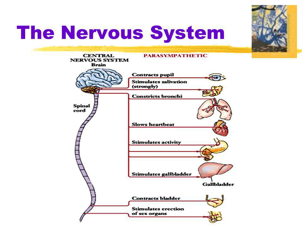  Reflex  a simple, automatic, inborn response to a sensory stimulus Skin receptors Muscle Sensory neuron (incoming information) Motor neuron (outgoing information) Brain Interneuron Spinal cord