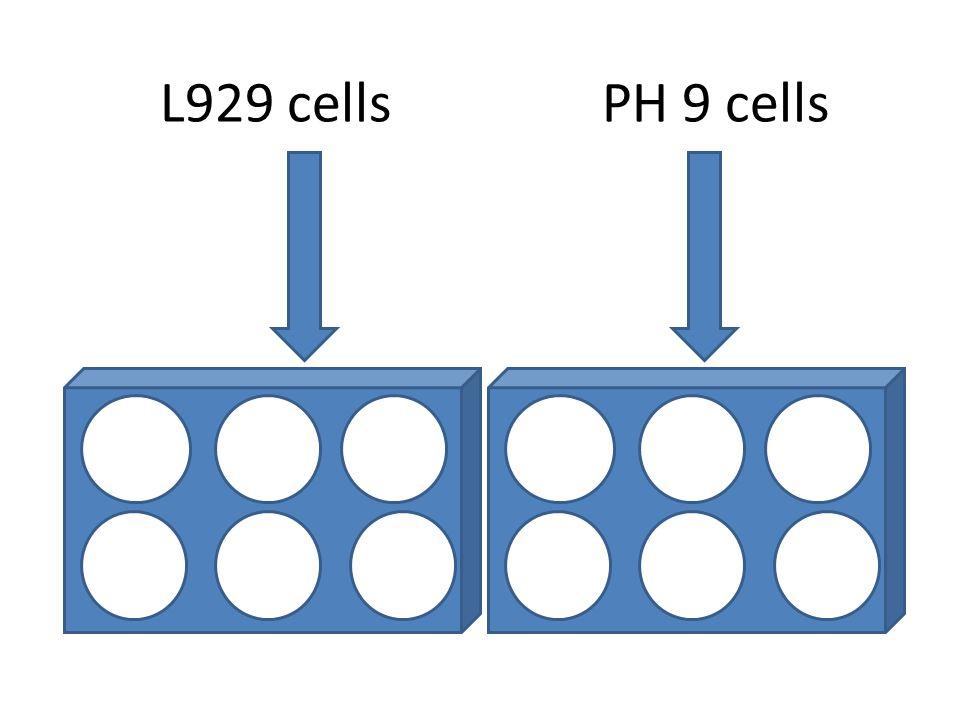 L929 cellsPH 9 cells