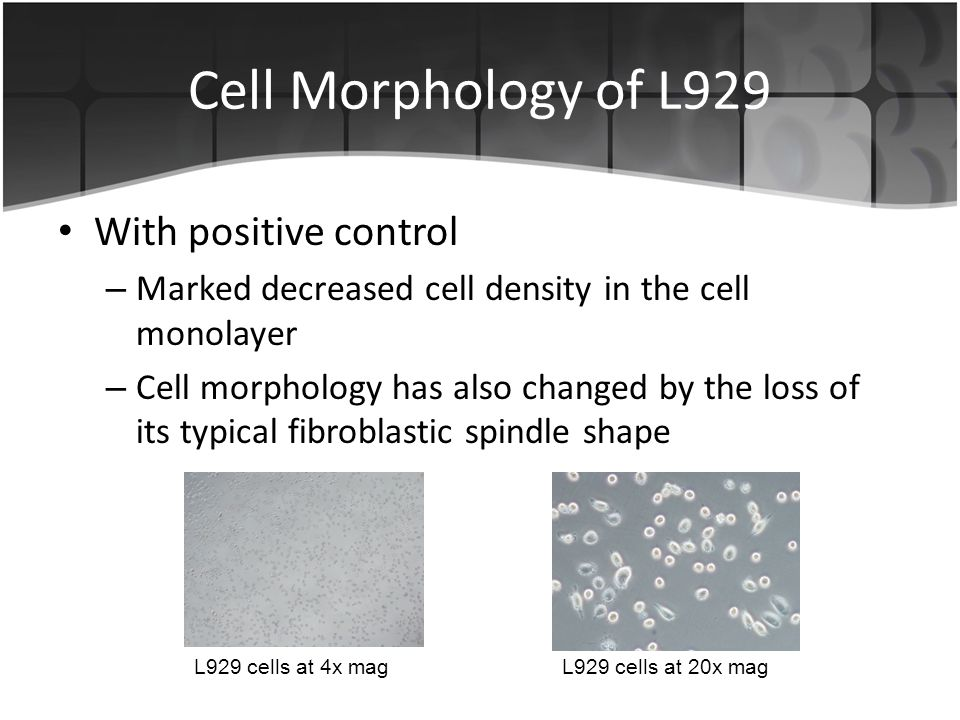 Cell Morphology of L929 With positive control – Marked decreased cell density in the cell monolayer – Cell morphology has also changed by the loss of its typical fibroblastic spindle shape L929 cells at 4x magL929 cells at 20x mag