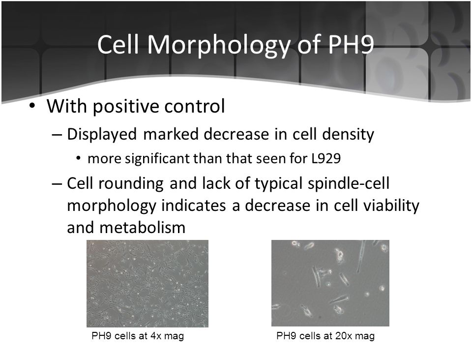 Cell Morphology of PH9 With positive control – Displayed marked decrease in cell density more significant than that seen for L929 – Cell rounding and lack of typical spindle-cell morphology indicates a decrease in cell viability and metabolism PH9 cells at 4x magPH9 cells at 20x mag