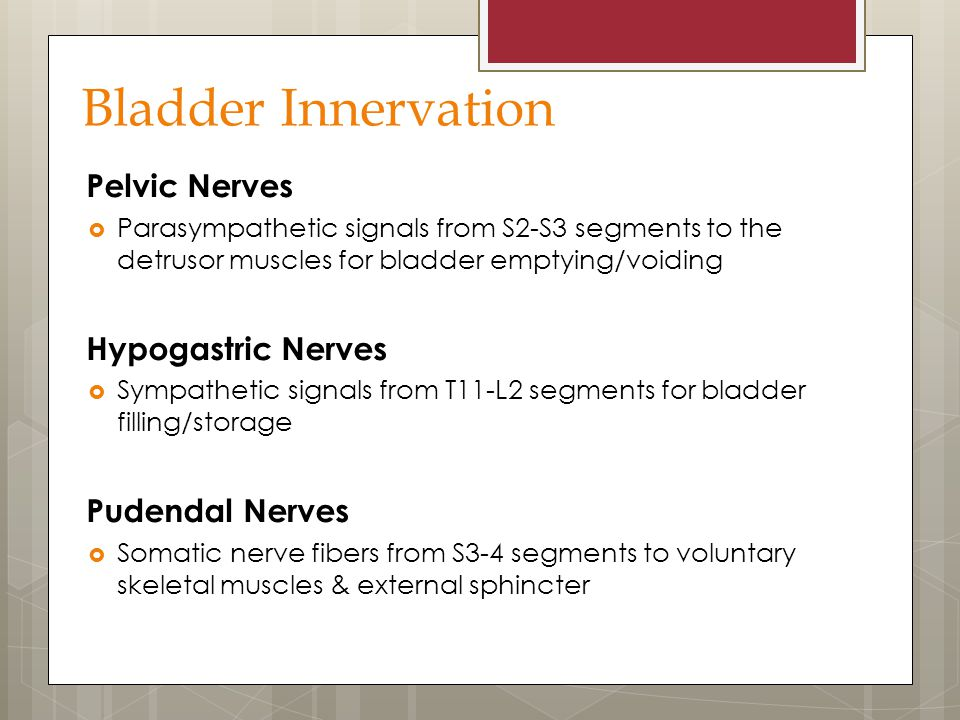 Bladder Innervation Pelvic Nerves  Parasympathetic signals from S2-S3 segments to the detrusor muscles for bladder emptying/voiding Hypogastric Nerve