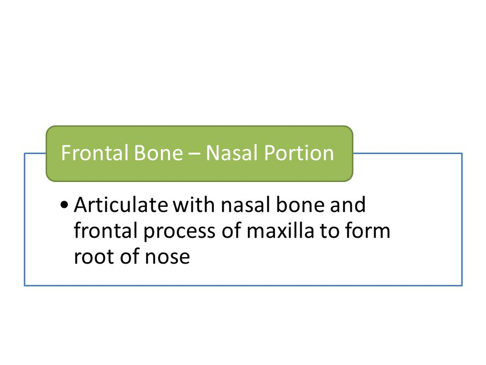 Articulate with nasal bone and frontal process of maxilla to form root of nose Frontal Bone – Nasal Portion