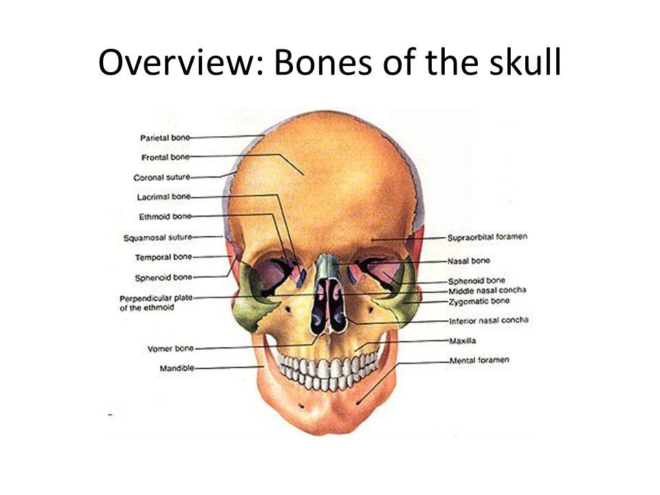Nasal Septum 1.Septal Cartilage 2.Ethmoid bone 3.Vomer
