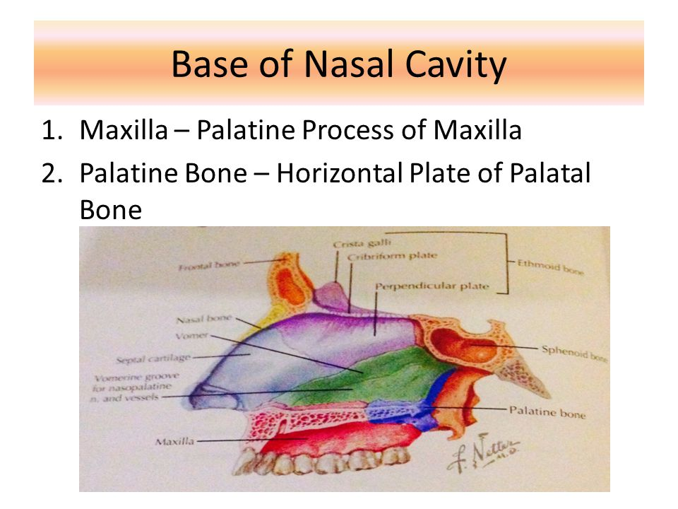 Extend medially to form the majority of hard palate Articulate with palatine process of opposite side and horizontal plate of palatine bone Present of incisive foramen Maxilla - Palatine Process