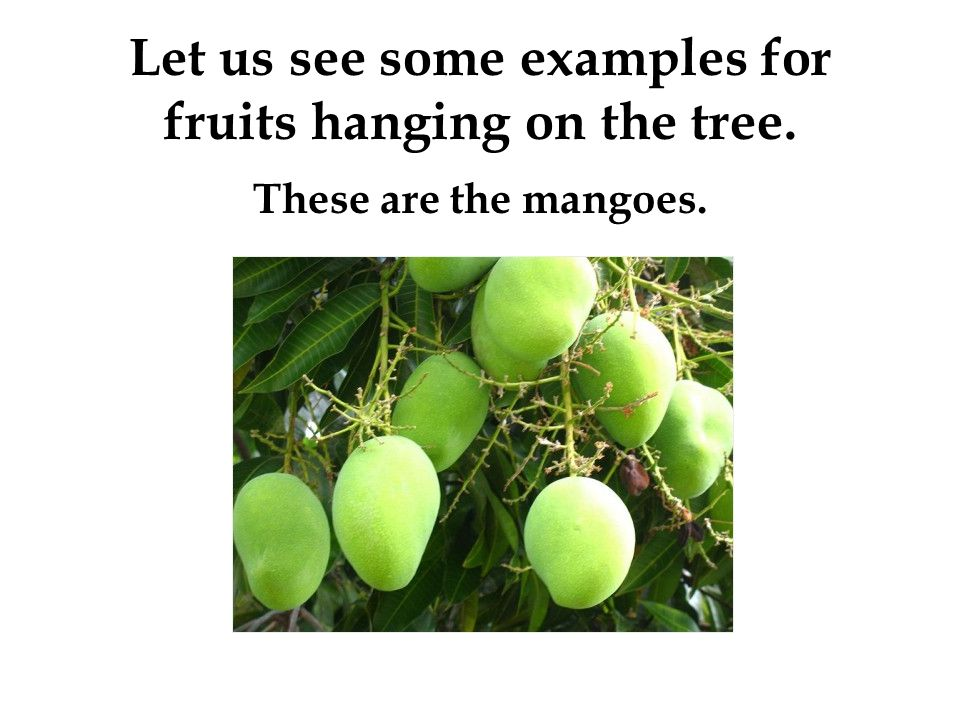 Let us see some examples for fruits hanging on the tree. These are the mangoes.