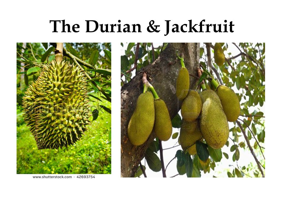 The Durian & Jackfruit