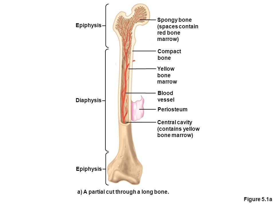 Figure 5.1a Epiphysis Diaphysis Spongy bone (spaces contain red bone marrow) Compact bone Yellow bone marrow Blood vessel Periosteum Central cavity (c