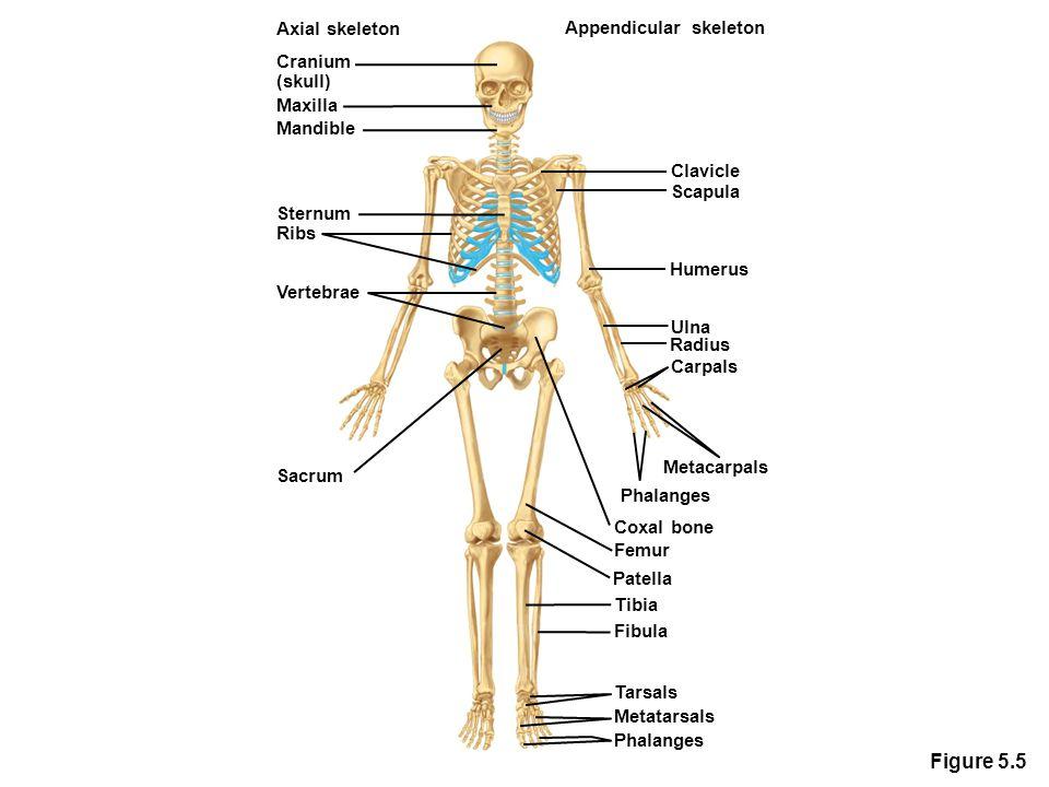 Figure 5.5 Axial skeleton Cranium (skull) Maxilla Mandible Sternum Vertebrae Sacrum Appendicular skeleton Clavicle Humerus Ulna Radius Carpals Metacar