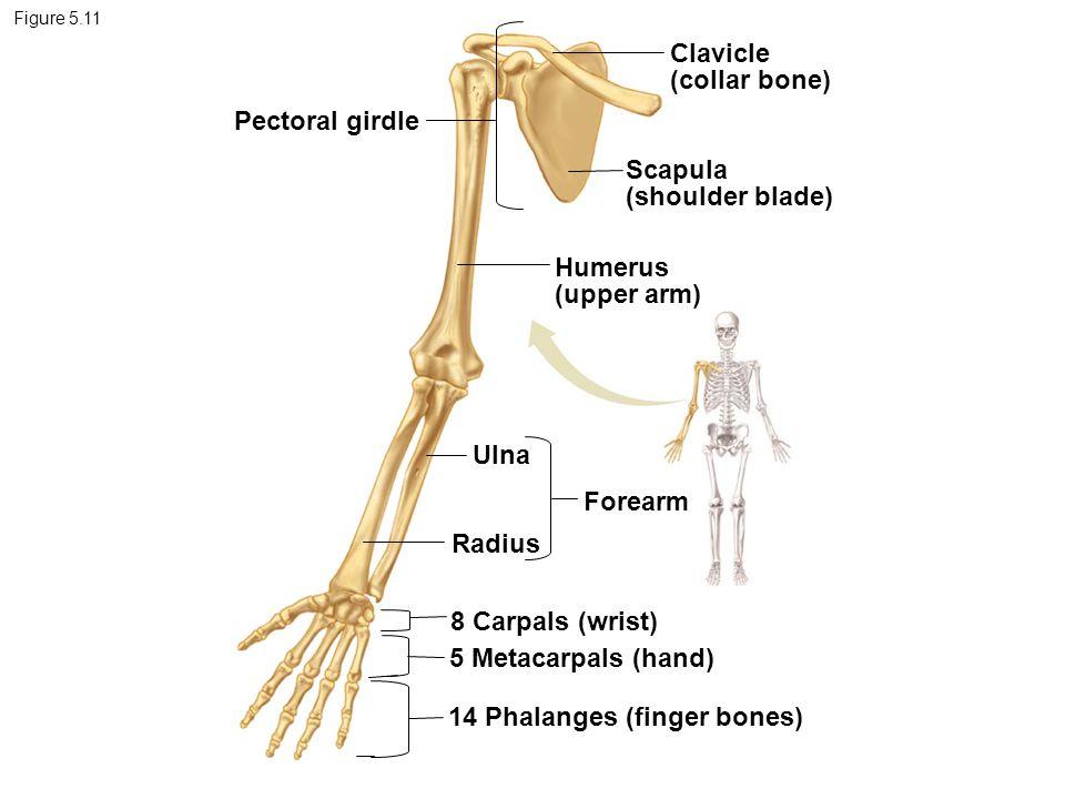 Figure 5.11 Pectoral girdle Clavicle (collar bone) Scapula (shoulder blade) Humerus (upper arm) Ulna Radius Forearm 8 Carpals (wrist) 5 Metacarpals (h