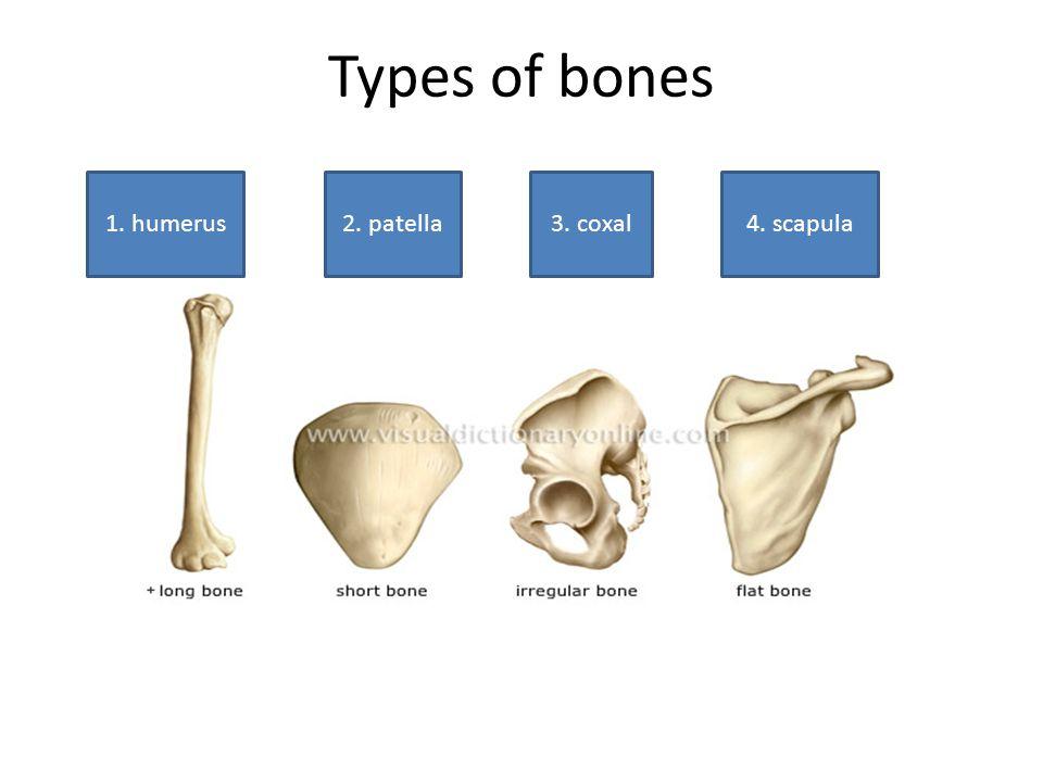 Types of bones 1. humerus2. patella3. coxal4. scapula