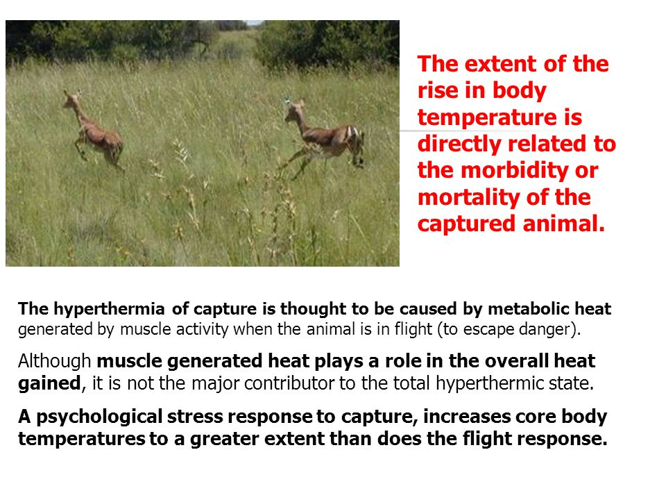 The hyperthermia of capture is thought to be caused by metabolic heat generated by muscle activity when the animal is in flight (to escape danger). Al