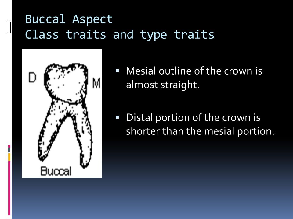 Buccal Aspect Class traits and type traits  Mesial outline of the crown is almost straight.