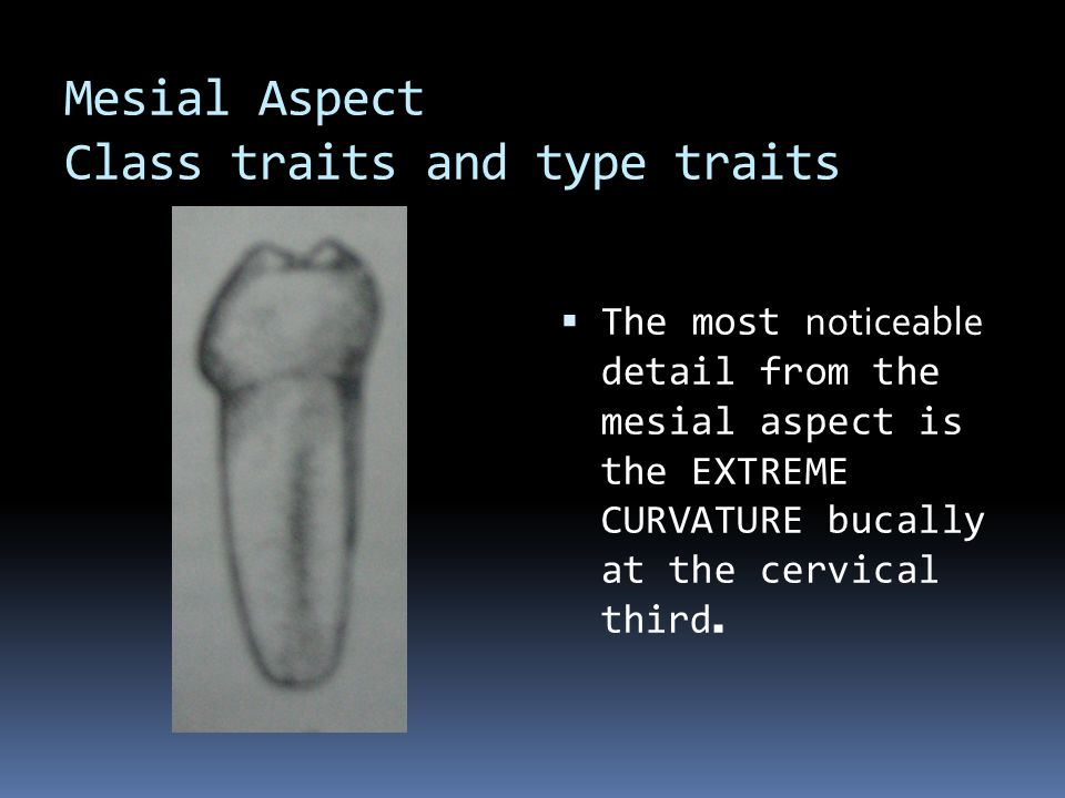 Mesial Aspect Class traits and type traits  The most noticeable detail from the mesial aspect is the EXTREME CURVATURE bucally at the cervical third.