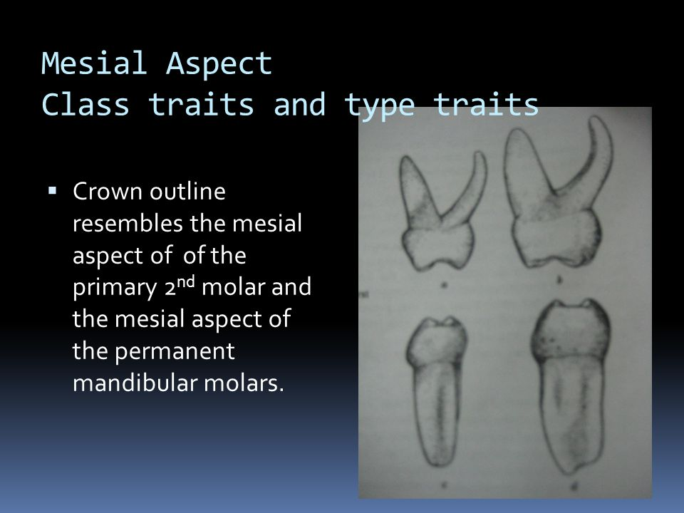 Mesial Aspect Class traits and type traits  Crown outline resembles the mesial aspect of of the primary 2 nd molar and the mesial aspect of the permanent mandibular molars.