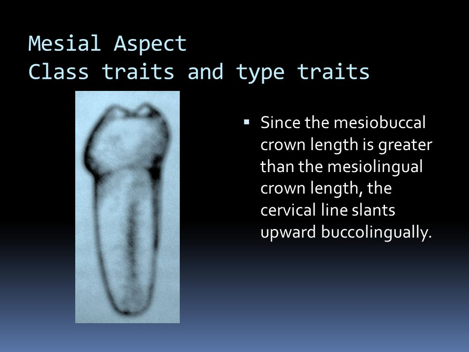 Mesial Aspect Class traits and type traits  Since the mesiobuccal crown length is greater than the mesiolingual crown length, the cervical line slants upward buccolingually.