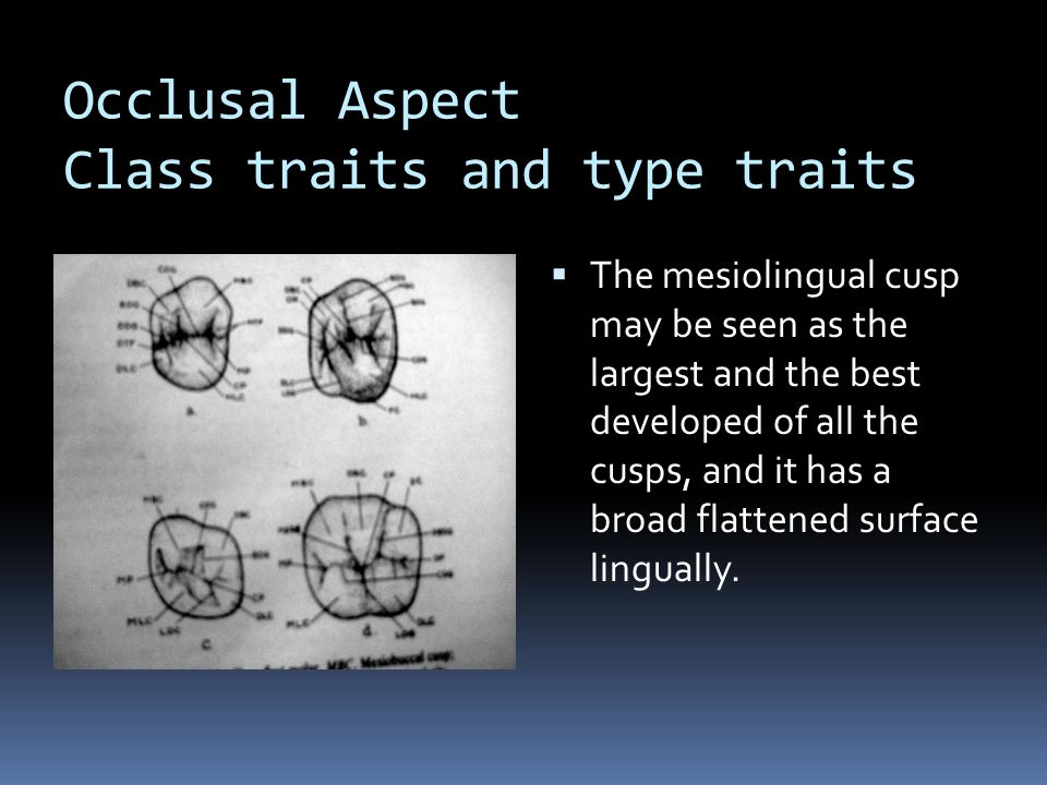 Occlusal Aspect Class traits and type traits  The mesiolingual cusp may be seen as the largest and the best developed of all the cusps, and it has a broad flattened surface lingually.