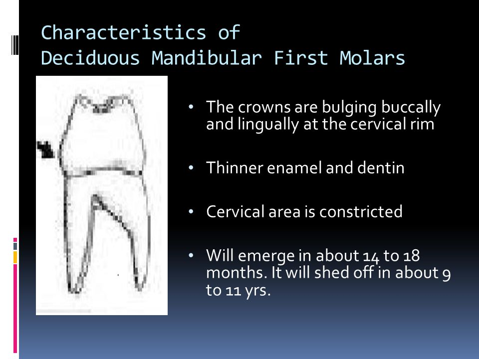 Characteristics of Deciduous Mandibular First Molars The crowns are bulging buccally and lingually at the cervical rim Thinner enamel and dentin Cervical area is constricted Will emerge in about 14 to 18 months.