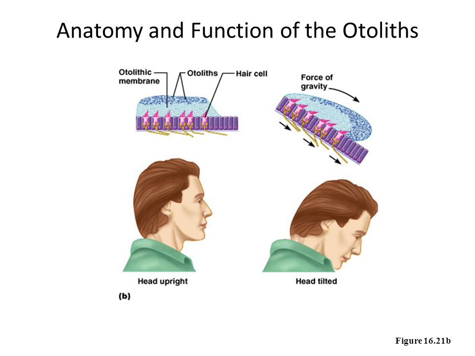 Anatomy and Function of the Otoliths Figure 16.21b