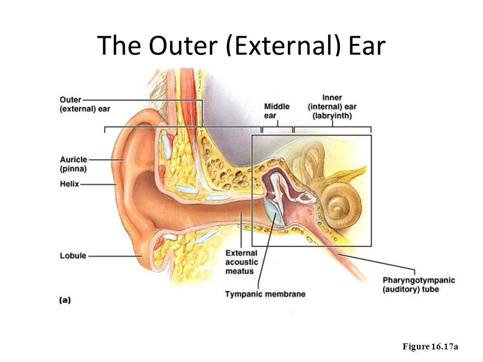 The Outer (External) Ear Figure 16.17a