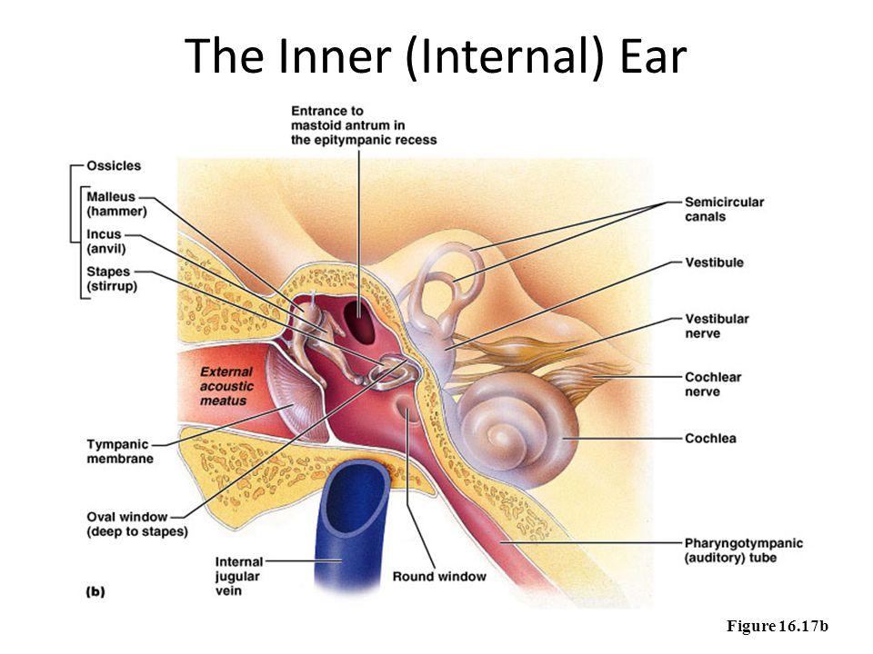 The Inner (Internal) Ear Figure 16.17b