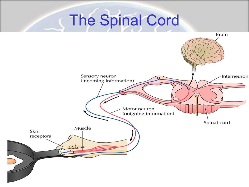 Split-Brain Research