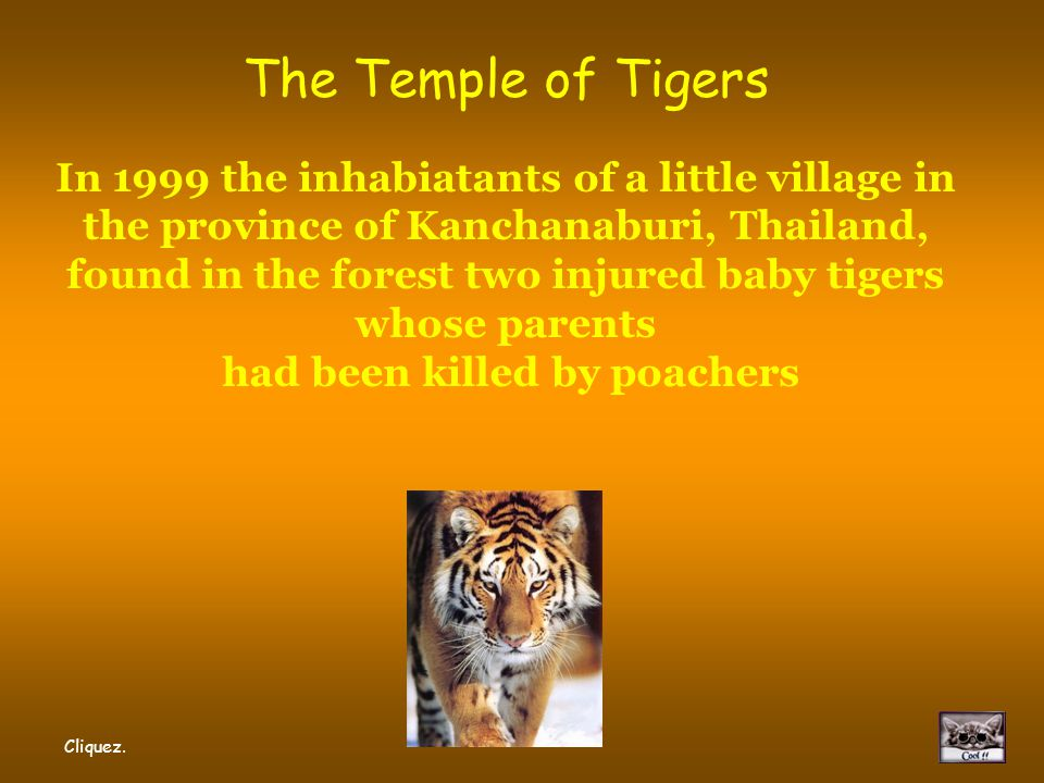Not knowing what to do with them, they took them to the Bhuddist temple Wat Pha Luang where they were housed and cared for by the monks The temple tigers wake to see the day