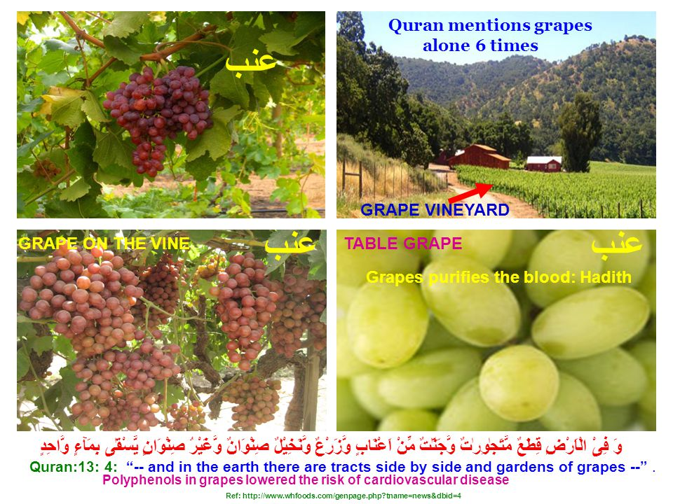 GRAPE VINEYARD TABLE GRAPEGRAPE ON THE VINE Polyphenols in grapes lowered the risk of cardiovascular disease Quran:13: 4: -- and in the earth there are tracts side by side and gardens of grapes -- .