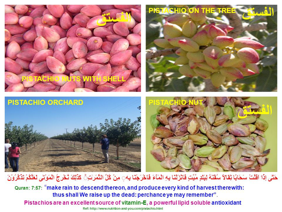 PISTACHIO ORCHARD PESTACHU NUTS PISTACHIO ON THE TREE PISTACHIO NUT Pistachios are an excellent source of vitamin-E, a powerful lipid soluble antioxidant Quran: 7:57: make rain to descend thereon, and produce every kind of harvest therewith: thus shall We raise up the dead: perchance ye may remember .