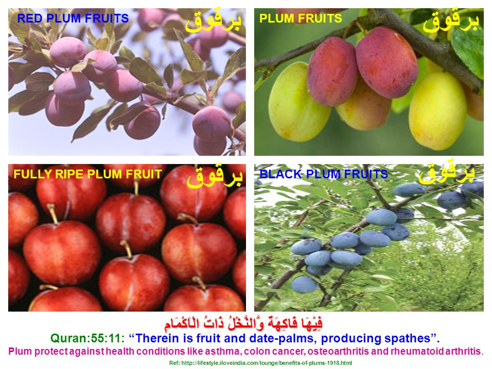 FULLY RIPE PLUM FRUIT Plum protect against health conditions like asthma, colon cancer, osteoarthritis and rheumatoid arthritis.