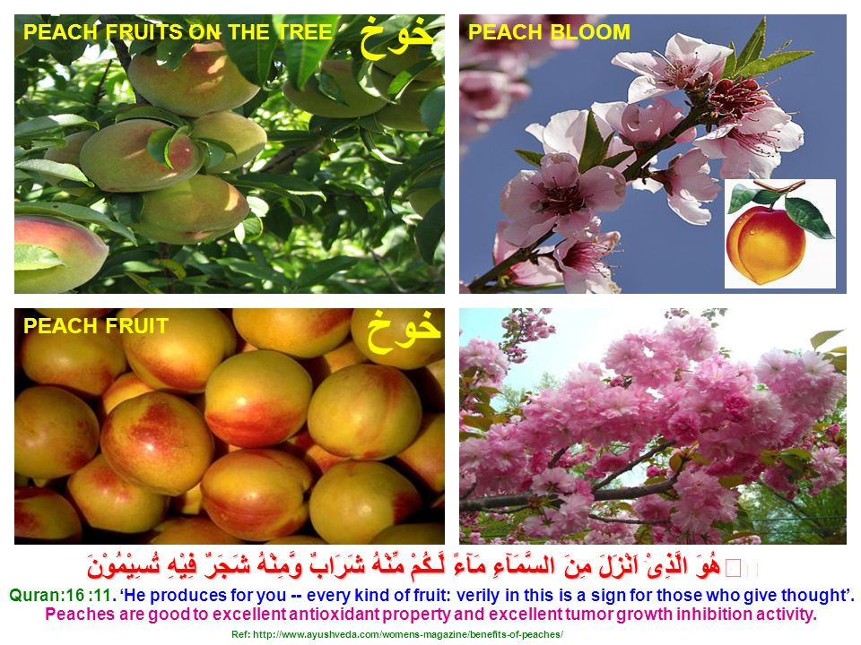 PEACH BLOOM PEACH FRUIT Peaches are good to excellent antioxidant property and excellent tumor growth inhibition activity.