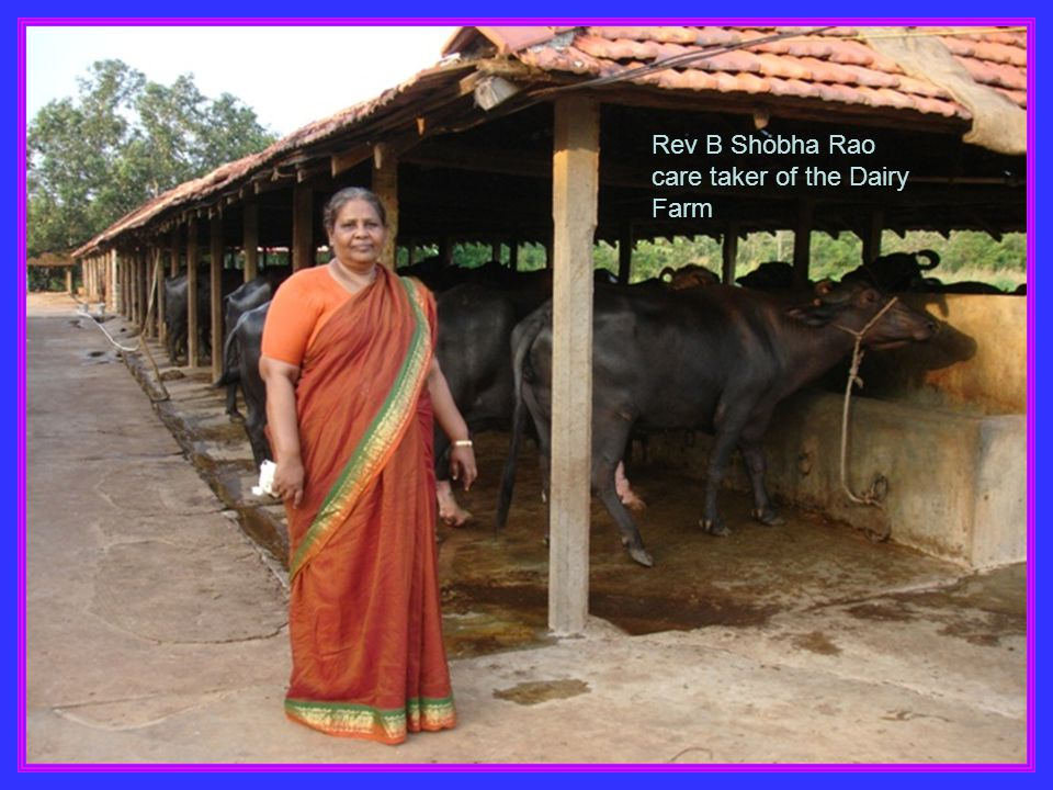 Rev B Shobha Rao care taker of the Dairy Farm
